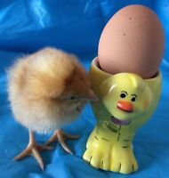 BABY CHICKENS/CHICKS EGG LAYERS HENS ONLY 12 LEFT