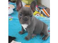 3 French bull dog pups for sale