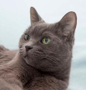 """Senior Female Cat - Domestic Short Hair: """"Tia"""" Downtown-West End Greater Vancouver Area image 1"""