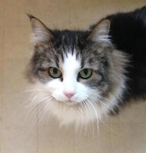 """Adult Female Cat - Domestic Long Hair: """"Eeva"""""""