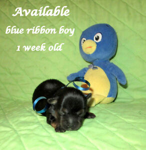 UNIQUE YORKIE PUPPIES,NON-SHED,2 YR GUAR.RESERVE NOW
