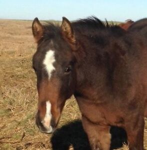 AQHA Cutting/Cowhorse Colt