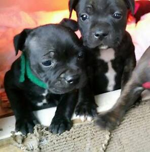 Purebred Staffy Pups with Papers Murray Bridge Murray Bridge Area Preview