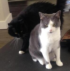 """Adult Male Cat - Domestic Short Hair: """"Buchanan"""" Downtown-West End Greater Vancouver Area image 2"""