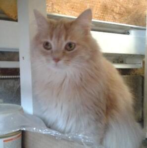 "Senior Female Cat - Domestic Medium Hair: ""Moody"""