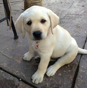 Looking for Female Yellow Lab Puppy