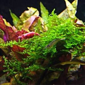 Java Moss, Freshwater live plants