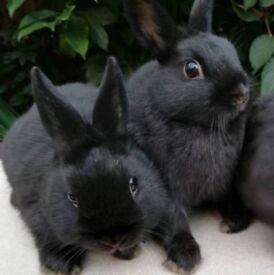 Boy Netherland dwarf bunnies.