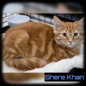 Shere Khan~Rescue Kitten~Vet Work Included