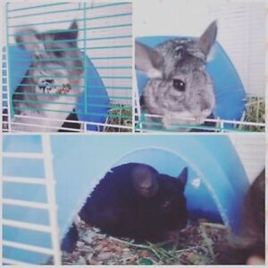 2 chinchillas for sale