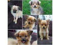 Pomeranian x
