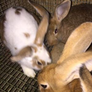 New Zealand white and red rabbits crossed