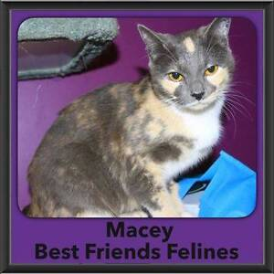 Macey - Best Friends Felines Boronia Heights Logan Area Preview