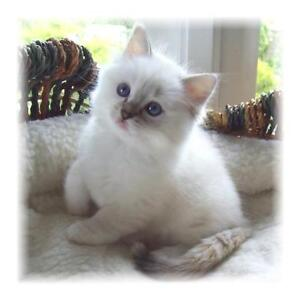 Looking for a kitten around Christmas time