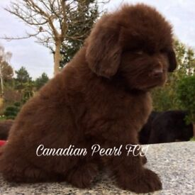 Newfoundland Pups KC Registered- 1Brown boy and 1 Black girl