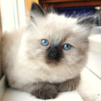 Himalayan kittens are ready to go to their new homes