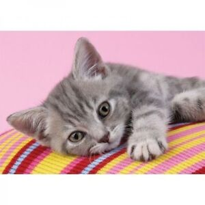 Chaton Abyssin x - 2 mois - Vacciné - Garanties (chat)