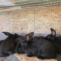 Meat Rabbits / Bunnies For Sale