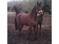 horse/pony share available