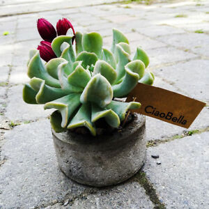 'Ciao Bella' Chic And Modern Concrete Pot With Succulent Plant