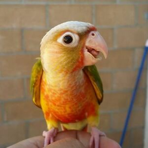 ❤★❤ Adorable,Tame CONURE Babies With CAGE❤★❤
