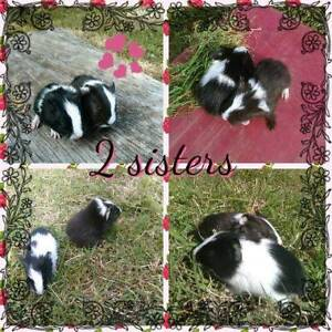 2 sister Guinea pigs for sale Gunalda Gympie Area Preview