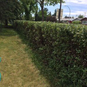 AFFORDABLE TREE PRUNING AND HEDGE TRIMMING London Ontario image 8