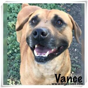 """Young Male Dog - Boxer: """"Vance"""""""