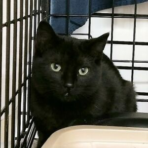 "Young Female Cat - Domestic Short Hair (Black): ""Zepplin"""