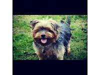 10 week old Female . Jack russell cross yorkshire terrier