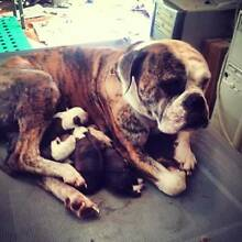 PUREBRED AMERICAN BULLDOG X PUPPIES Stanthorpe Sugarloaf Southern Downs Preview