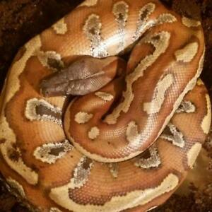 Red Blood Python, 2 year old female, includes tank & accessories