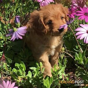 Gorgeous Cavoodle Puppies Mount Pritchard Fairfield Area Preview