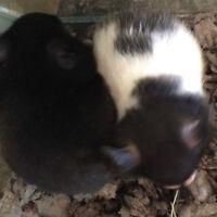 Teddy Bear / Syrian hamsters