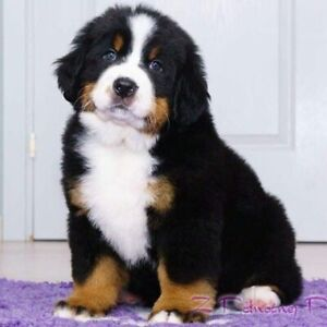 Looking for a Bernese puppy