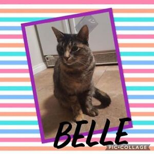 "Adult Female Cat - Domestic Short Hair: ""Belle"""