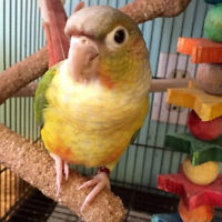 Beautiful, very well socialized Pineapple conure