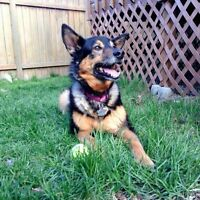 **Gorgeous Jessie - SHEPHERD cross is available for adoption***