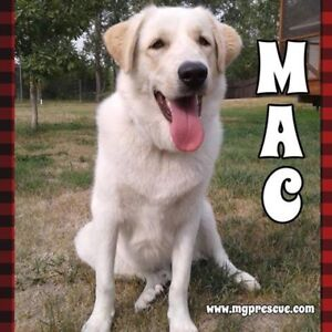 """Young Male Dog - Great Pyrenees: """"Mac"""""""