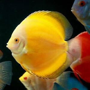 A LOT OF COLORFULL HEALTHY DISCUS FOR SALE !!!