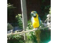 2 year old blue & gold female macaw