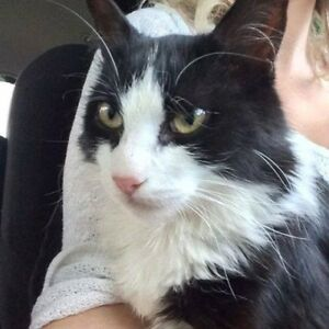 Missing in kemptville black and white fluffy cat