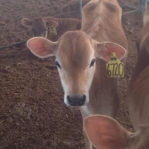** Jersey Heifer Calves ** Lewiston Mallala Area Preview