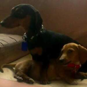 $100 REWARD each, for 2 lost miniature Dachshunds Moree Moree Plains Preview
