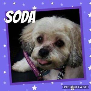 "Senior Female Dog - Bichon Frise-Shih Tzu: ""Soda"""