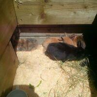 4 week old baby bunnies