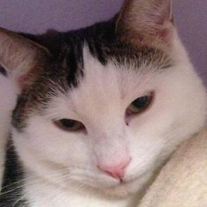 """Young Male Cat - Domestic Short Hair-Tabby - Brown: """"Whippet"""""""