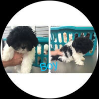 Pure Bred Shih-tzu looking for his forever home!