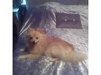 Pure 100% tan pomeranian 9 months old