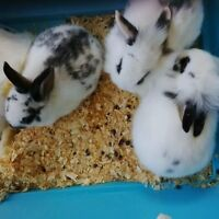Free Bunnies! Need urgent home